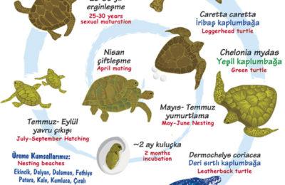 (Turkish) Deniz kaplumbağası kumsala çıkıyor. Nasıl davranalım?